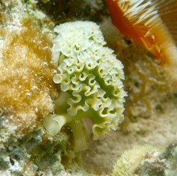 Lettuce sea slug