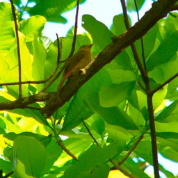 Yellow tanager