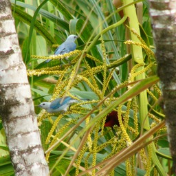 Blue-gray & crimson-backed tanagers