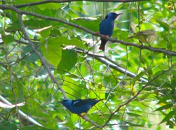 Red-legged honeycreepers