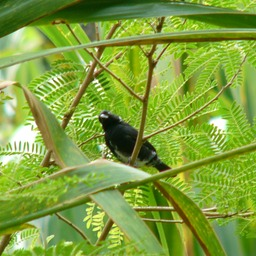 Variable seedeater